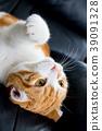 데굴 데굴 귀여운 백차 고양이 39091328
