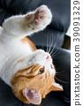 데굴 데굴 귀여운 백차 고양이 39091329