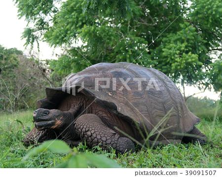 加拉帕戈斯巨龜 39091507