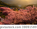 쿠와타 山雪 割桜 39091589
