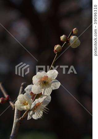 Plum blossom 39096310