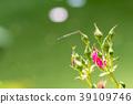 장미, 장미꽃, 로즈 39109746