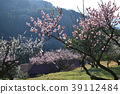 ume, spring, white plum blossoms 39112484