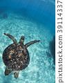 海龜游泳在沖繩島 39114337