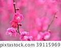 日本杏花 一朵梅花 梅 39115969