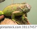 鬣蜥蜴 爬行動物 爬蟲類的 39117457