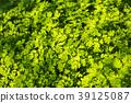 parsley, area, backdrop 39125087