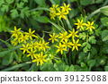 Ornithogalum flowers bloom in the garden. 39125088