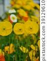 poppy, bloom, blossom 39129610