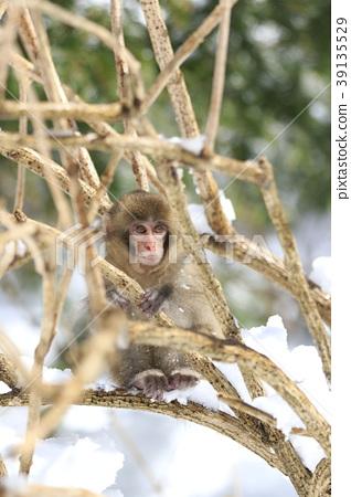 원숭이 39135529