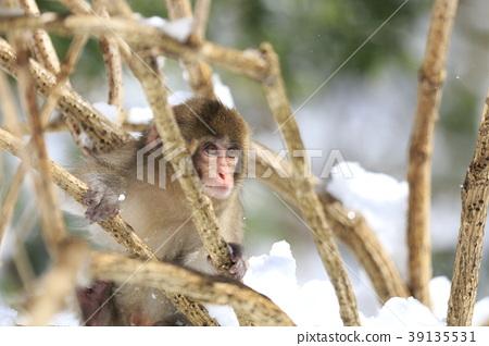 일본 원숭이, 원숭이, 몽키 39135531