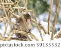 日本猕猴 猴子 冬天 39135532