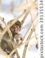 日本猕猴 猴子 冬天 39135534