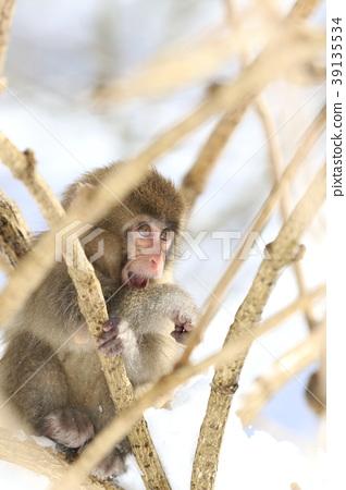 원숭이 39135534