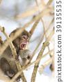 日本猕猴 猴子 冬天 39135535