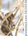 日本猕猴 猴子 冬天 39135536