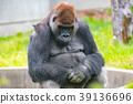 大猩猩 西方大猩猩 動物 39136696