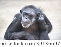 침팬지, 영장류, 포유류 39136697