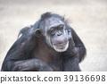 chimp chimpanzee primate 39136698