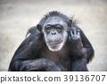 침팬지, 영장류, 포유류 39136707