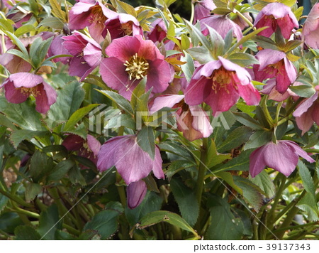 圣诞玫瑰 花朵 花卉 39137343