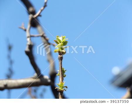 缅甸红木 嫩叶 春天 39137350