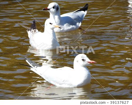 红嘴鸥 白色 候鸟 39137627
