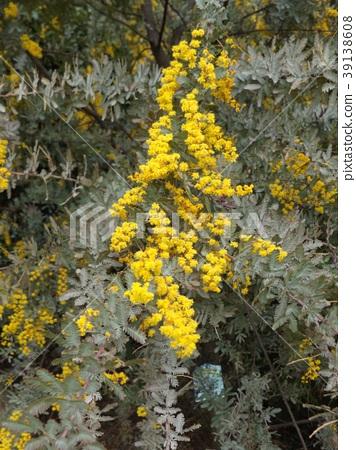 acacia baileyana, flower, flowers 39138608