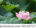 여름 _ 연꽃 (연꽃)의 이미지 39140737