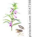 참깨 꽃과 열매 39147398