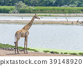 One giraffe standing near the lake 39148920