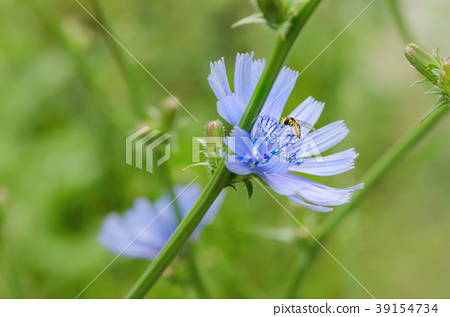 Chicory flower in nature 39154734