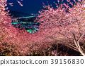 """""""จังหวัดคานางาวะ"""" มัตสึโอกะ - โชฮิลล์แห่งดอกซากุระยามค่ำคืน 39156830"""