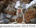 Snow Monkey 39157545