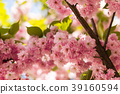 cherry blossom in the spring 39160594