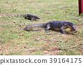 large and small Komodo dragon  39164175