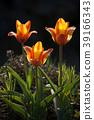 Blooming three tulips flowers. 39166343