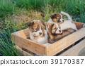 Bangkaew Puppies in wooden box 39170387