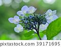 hydrangea 39171695