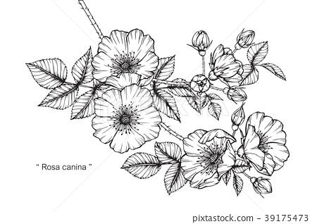 Wild rose flower drawing illustration.  39175473