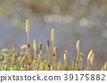 spring, horsetail, field horsetail 39175882