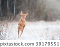 vizsla dog jumping like kangaroo 39179551