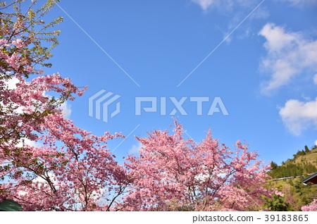 The beautiful sakura in Taiwan 39183865