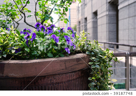 Pansy purple flower bed of Otemachi First Square 39187748