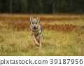 Grey wolf running on colorful meadow - Canis lupus 39187956