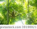 猩猩 野生 樹木 39190021