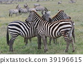 serengeti national park 39196615