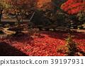 ต้นเมเปิล,ฤดูใบไม้ร่วง,สวนญี่ปุ่่น 39197931