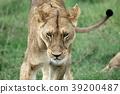 塞倫蓋蒂國家公園 動物 野生動物 39200487