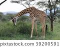 塞倫蓋蒂國家公園 動物 野生動物 39200591
